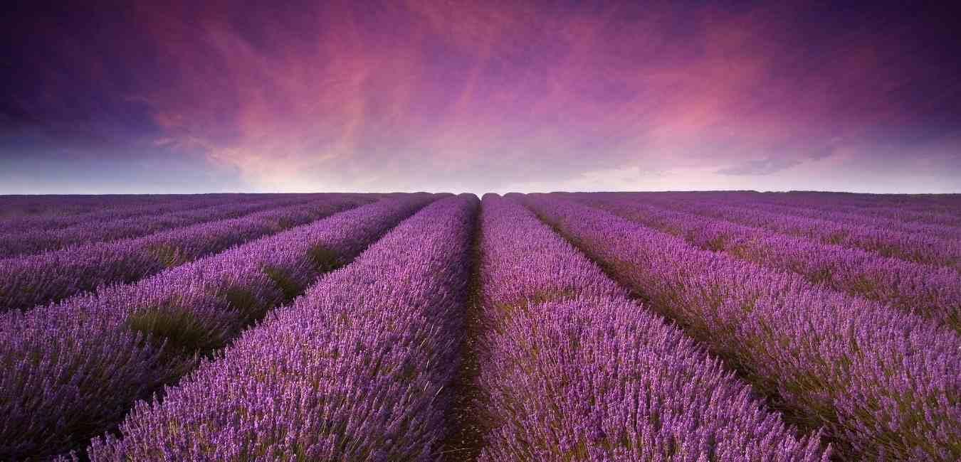 Purple Cloud Lavender